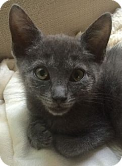 Domestic Shorthair Kitten for adoption in Reston, Virginia - Jade