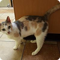 Domestic Shorthair Cat for adoption in Stafford, Virginia - Venus