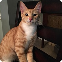 Adopt A Pet :: Tango - Burlington, NC