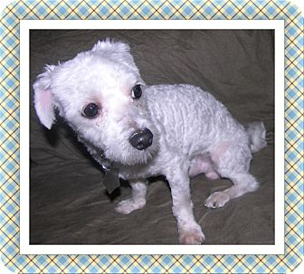 Bichon Frise Dog for adoption in Tulsa, Oklahoma - Adopted!!Hobie - IL