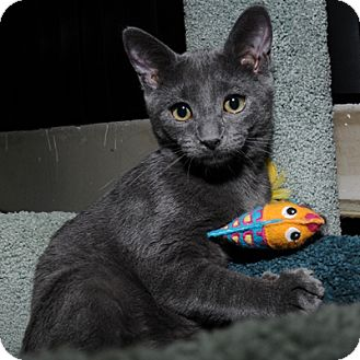 Domestic Shorthair Kitten for adoption in Mississauga, Ontario, Ontario - Tatler