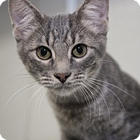 Domestic Shorthair Cat for adoption in Dallas, Texas - Victor