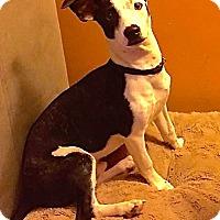 Adopt A Pet :: Digger - Normal, IL