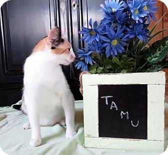 Calico Cat for adoption in Chandler, Arizona - Tamu