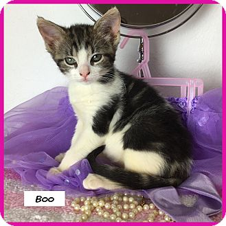 Domestic Shorthair Cat for adoption in Miami, Florida - Boo