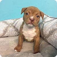 Adopt A Pet :: Chunky - Elgin, IL