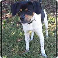 Rat Terrier Mix Dog for adoption in Mooresville, North Carolina - George