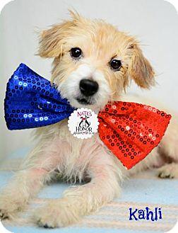 Jack Russell Terrier Mix Dog for adoption in Bradenton, Florida - Kahki