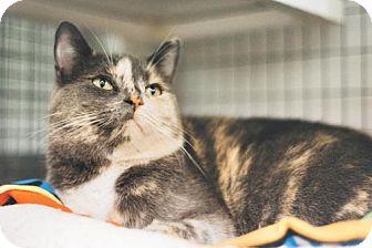 Domestic Shorthair Cat for adoption in Parma, Ohio - Jasmine