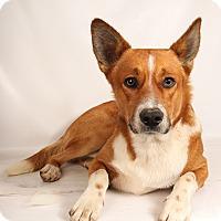 Adopt A Pet :: Cedrick CorgiMix - St. Louis, MO