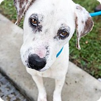 Adopt A Pet :: CARLA - Houston, TX