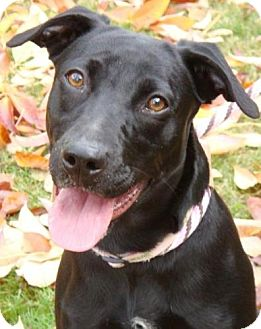 Labrador Retriever Mix Dog for adoption in Red Bluff, California - Jennah