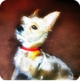 Yorkie, Yorkshire Terrier/Maltese Mix Dog for adoption in Toronto, Ontario - Carmen