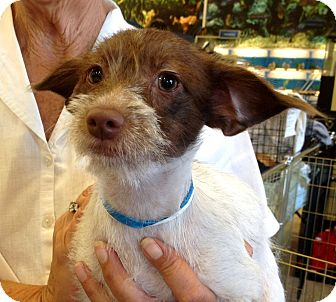 Terrier (Unknown Type, Medium) Mix Puppy for adoption in Phoenix, Arizona - Tia