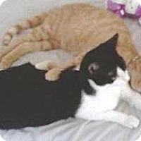 Domestic Shorthair Cat for adoption in Miami, Florida - Lanai