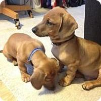 Adopt A Pet :: Apollo - Grand Rapids, MI