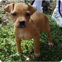 Adopt A Pet :: Jazzy - Allentown, PA