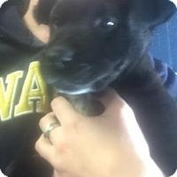 Adopt A Pet :: Sable - Cashiers, NC