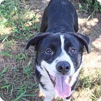 Adopt A Pet :: Jax - Helotes, TX