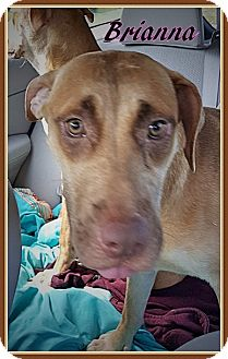 Pit Bull Terrier Mix Dog for adoption in Ahoskie, North Carolina - Brianna,, Shiloh, Shelby