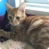 Domestic Shorthair Cat for adoption in Topeka, Kansas - Geneva