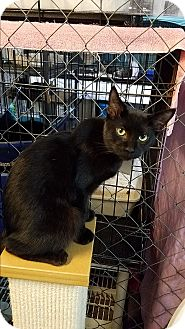 Domestic Shorthair Cat for adoption in Fallbrook, California - Kingster
