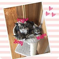 Adopt A Pet :: Taylor - Idaho Falls, ID