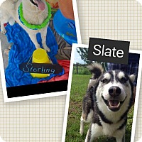 German Shepherd Dog Dog for adoption in Zanesville, Ohio - Sterling