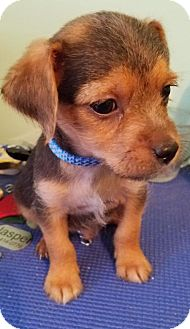 Yorkie, Yorkshire Terrier/Chihuahua Mix Puppy for adoption in Spring, Texas - Huck