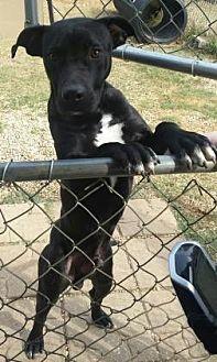 Labrador Retriever/Bulldog Mix Puppy for adoption in Centerville, Georgia - Zaxby