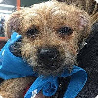 Australian Terrier Puppy for adoption in Los Angeles, California - Pebbles
