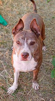 Pit Bull Terrier Dog for adoption in Memphis, Tennessee - Mercedes