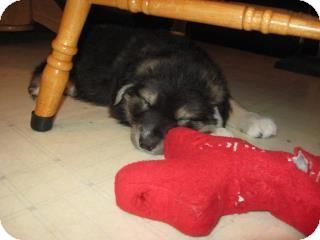 Shepherd (Unknown Type)/Golden Retriever Mix Puppy for adoption in Surrey, British Columbia - Wilson