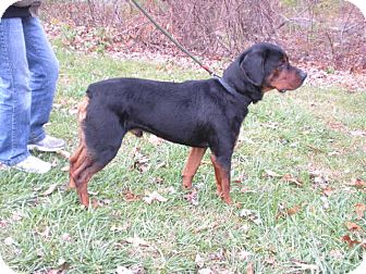 "Rottweiler Mix Dog for adoption in New Castle, Pennsylvania - "" Bo """