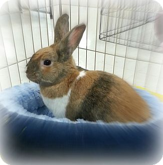 Dwarf Mix for adoption in Williston, Florida - Nutmeg
