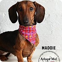 Adopt A Pet :: Maddie - Omaha, NE