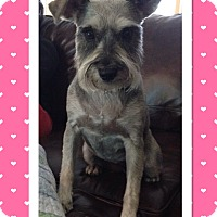 Adopt A Pet :: Zoey-ADOPTION PENDING - Sharonville, OH