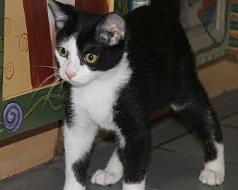 Domestic Shorthair Cat for adoption in Marietta, Ohio - Sylvester (Neutered) - Update