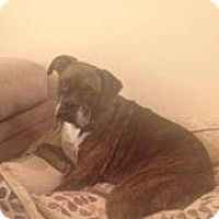 Boxer Dog for adoption in Virgina Beach, Virginia - Blessed