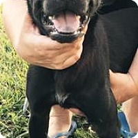 Staffordshire Bull Terrier/Labrador Retriever Mix Dog for adoption in Princeton, Kentucky - Ash