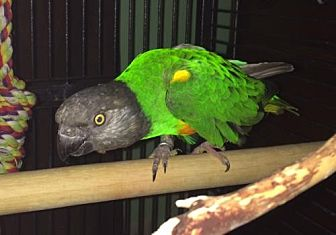 Poicephalus (including Senegal and Meyer's) for adoption in Plymouth, Minnesota - Oscar