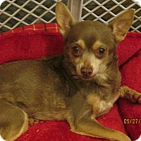 Chihuahua Dog for adoption in Wapwallopen, Pennsylvania - Tessa