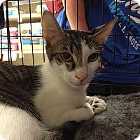 Adopt A Pet :: Hank Heartbreaker - Tampa, FL