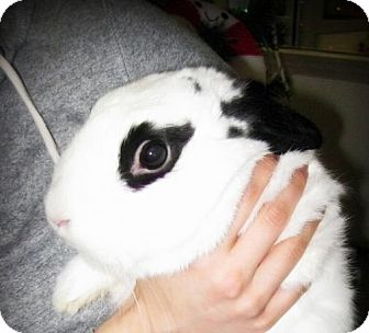Dwarf Hotot Mix for adoption in Los Angeles, California - Bubbles