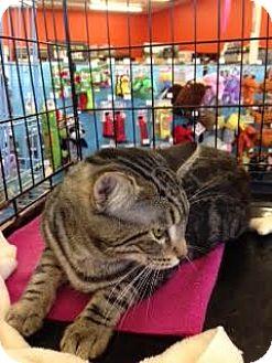 Domestic Shorthair Cat for adoption in Alamo, California - Teddy