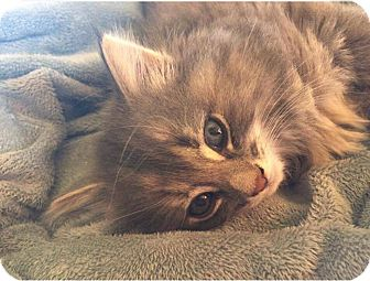 Domestic Longhair Kitten for adoption in Middletown, Ohio - Alphaba