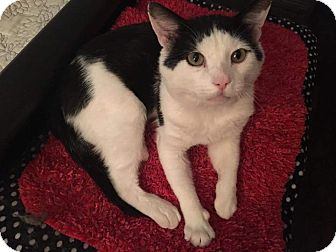 Domestic Shorthair Cat for adoption in North Haven, Connecticut - Jack
