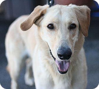 Labrador Retriever Mix Dog for adoption in Canoga Park, California - Dodger
