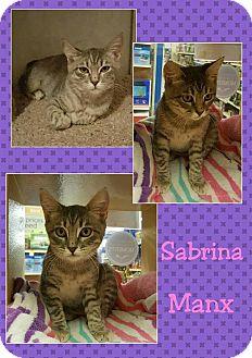 Manx Kitten for adoption in North Richland Hills, Texas - Sabrina