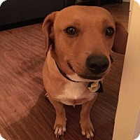 Chihuahua/Dachshund Mix Dog for adoption in San Diego, California - Levi